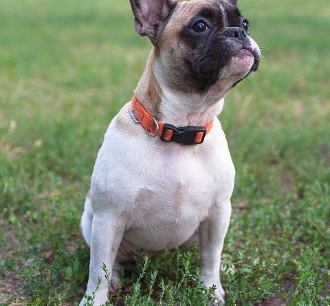 Bulldog frances en el parque