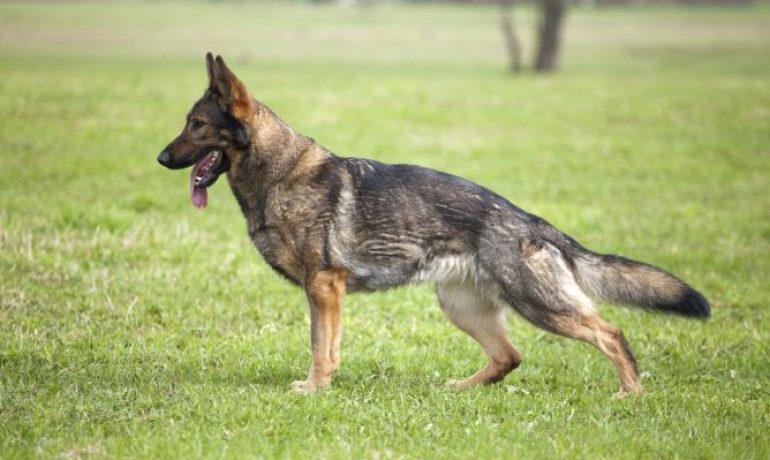 displasia en perros