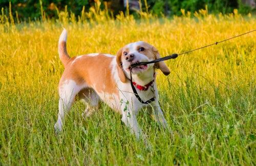 perro mordiendo correa