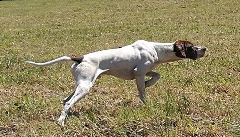 pointer caza