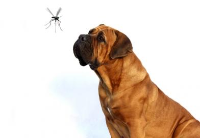 perro mosquito