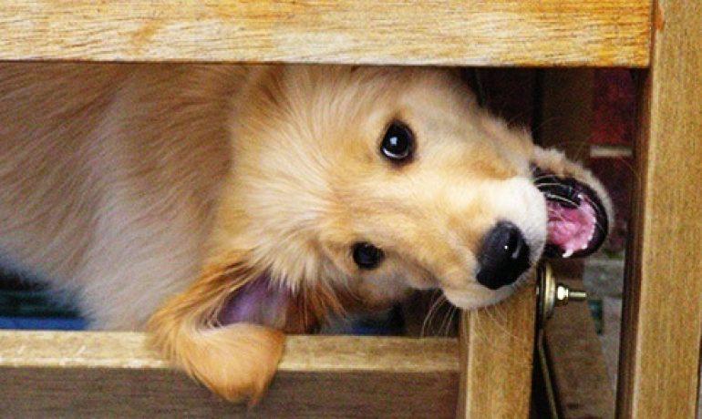 perro-mordiendo-mueble
