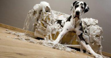 perro-muerde-muebles