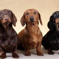 El Teckel o Dachshund: ¡El perro salchicha!