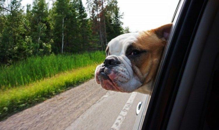 perro-viaja-en-coche