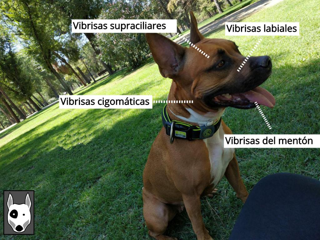 bigotes-perros