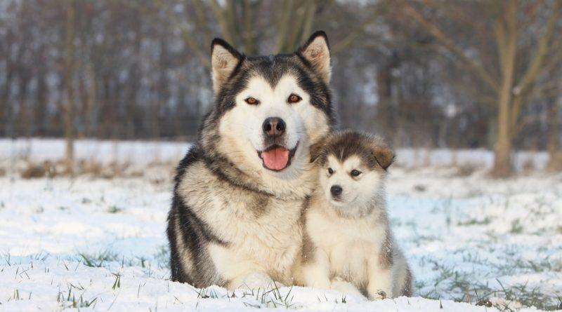 alaskan-malamute-cachorro