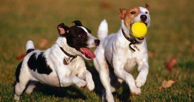 perros-jugando-pelota