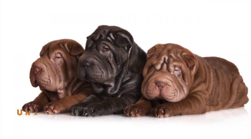 cachorros-shar-pei