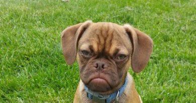 perro-enfadado