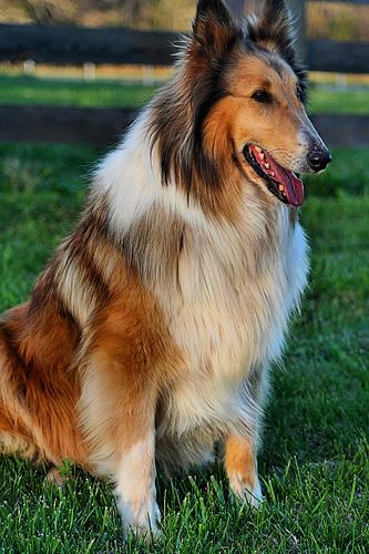 perro-pelo-largo