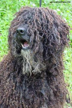 perro-pelo-rizado