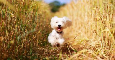 Como enseñar a un perro a que venga cuando le llamamos