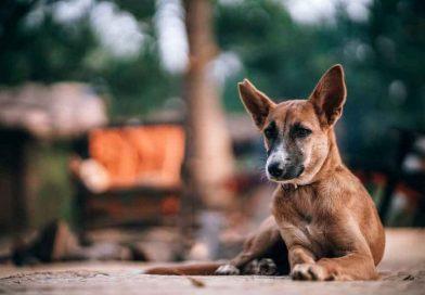 perro-mestizo
