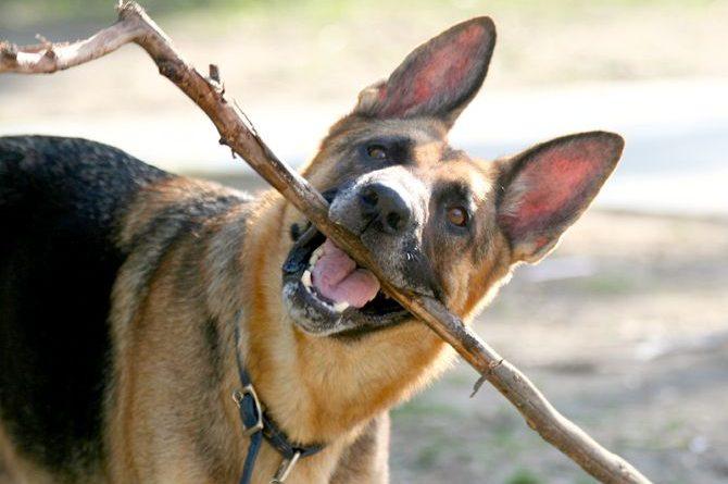 perro-comiendo-palos